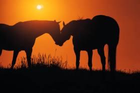 horsesinsunset